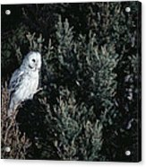 Great Gray Owl Strix Nebulosa In Blonde Acrylic Print by Michael Quinton