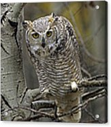 Great Horned Owl Pale Form Kootenays Acrylic Print by Tim Fitzharris