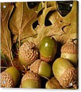 Green Acorns And Oak Leaves Acrylic Print by Jennifer Holcombe