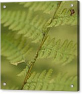 Green Ferns Blend Together Acrylic Print by Heather Perry