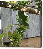 Green Grapes On Rusted Arbor Acrylic Print by Deb Martin-Webster