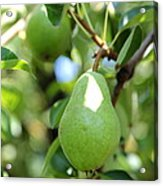 Green Pear Acrylic Print by Carol Groenen