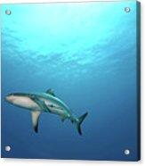 Grey Reef Shark Acrylic Print by James R.D. Scott