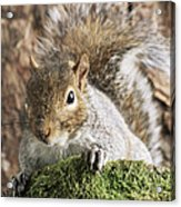 Grey Squirrel Acrylic Print by David Aubrey