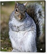 Grey Squirrel Sitting On The Ground Acrylic Print by Colin Varndell