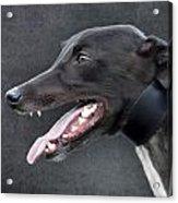 Greyhound Dog Portrait Acrylic Print by Ethiriel  Photography