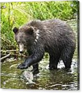 Grizzly Cub Catching Fish In Fish Creek Acrylic Print by Richard Wear