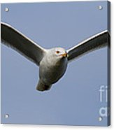 Gull In Flight . 7d12082 Acrylic Print by Wingsdomain Art and Photography
