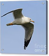 Gull In Flight . 7d12084 Acrylic Print by Wingsdomain Art and Photography