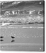 Gulls Taking A Walk Acrylic Print by Cindy Lee Longhini