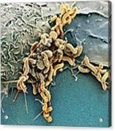 Helicobacter Pylori Bacteria, Sem Acrylic Print by