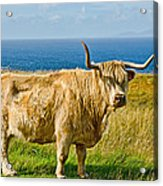 Highland Cow Acrylic Print by Chris Thaxter
