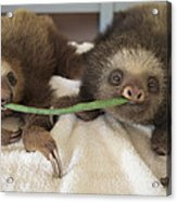 Hoffmanns Two-toed Sloth Orphans Eating Acrylic Print by Suzi Eszterhas