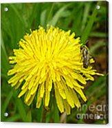 Honey Bee Full Of Pollen Acrylic Print by Renee Trenholm