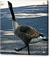 Honk And Strut Acrylic Print by Susan Herber