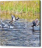 Hooded Mergansers Take Flight Acrylic Print by Lynda Dawson-Youngclaus