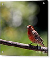 House Finch Bird . 40d7605 Acrylic Print by Wingsdomain Art and Photography