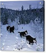 Huskie Pups Out For A Run In The Snow Acrylic Print by Paul Nicklen