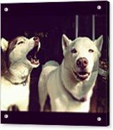 Husky Dogs Acrylic Print by Photography by Brandon Shepherd