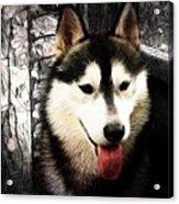 Husky Acrylic Print by Tilly Williams