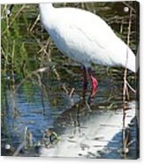 Ibis At Local Pond 2 Acrylic Print by Lynda Dawson-Youngclaus