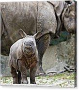 Indian Rhinoceros Rhinoceros Unicornis Acrylic Print by Konrad Wothe