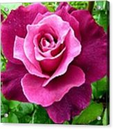 Intrigue Rose Acrylic Print by Will Borden