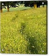 Ireland Trail Through Buttercup Meadow Acrylic Print by Peter McCabe