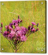 Ironweed In Autumn Acrylic Print by Judi Bagwell