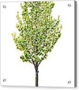 Isolated Flowering Pear Tree Acrylic Print by Elena Elisseeva