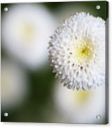 Isolated White Flower Bud Acrylic Print by Tim Green