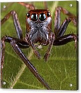 Jumping Spider Papua New Guinea Acrylic Print by Piotr Naskrecki