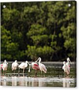 Juvenile And Adult Roseate Spoonbills Acrylic Print by Tim Laman