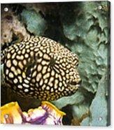 Juvenile Map Pufferfish Acrylic Print by Georgette Douwma