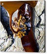 Kelp Holdfast (laminaria Digitata) Acrylic Print by Dr Keith Wheeler