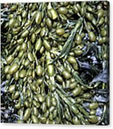 Knotted Wrack Seaweed Acrylic Print by Dr Keith Wheeler