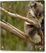 Koala At Work Acrylic Print by Bob Christopher