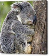 Koala Phascolarctos Cinereus Sleeping Acrylic Print by Pete Oxford