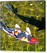 Koi With Shadow Acrylic Print by Brian D Meredith