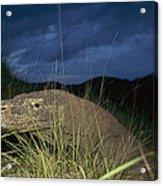 Komodo Dragon Varanus Komodoensis Acrylic Print by Cyril Ruoso