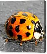 Ladybug In The Sun Acrylic Print by Mark J Seefeldt
