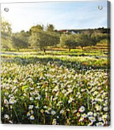 Landscape With Daisies Acrylic Print by Carlos Caetano