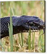 Large Whipsnake Coluber Jugularis Acrylic Print by Alon Meir