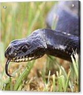 Large Whipsnake (coluber Jugularis) Acrylic Print by Photostock-israel