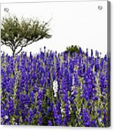 Lavender Field Acrylic Print by Lisa  Spencer