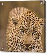 Leopard Panthera Pardus, Arathusa Acrylic Print by Stuart Westmorland