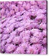 Lilac Frost Acrylic Print by Elizabeth Sullivan