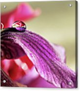 Lily's Drop Acrylic Print by Gulale