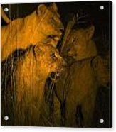 Lions At Night Acrylic Print by Carson Ganci