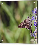 Long-tailed Skipper Butterfly Acrylic Print by Cindy Bryant